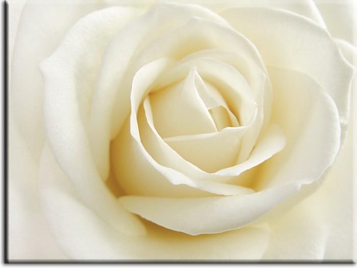 Modernes Blumenbild - Weisse Rose