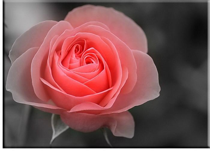 Moderne Blumenbilder - Rosenbild HOFFNUNG