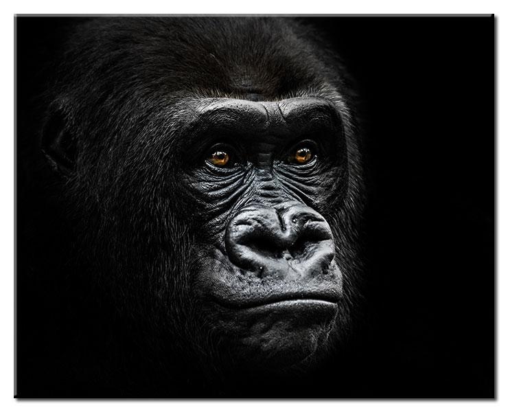 Modernes Leinwandbild - Gorilla